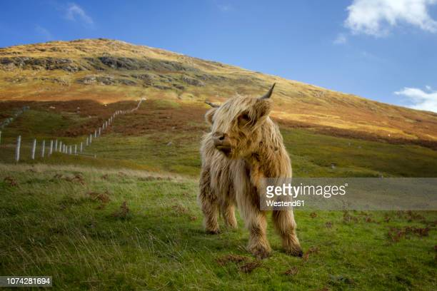 UK, Scotland, Highlands, highland cattle on a meadow