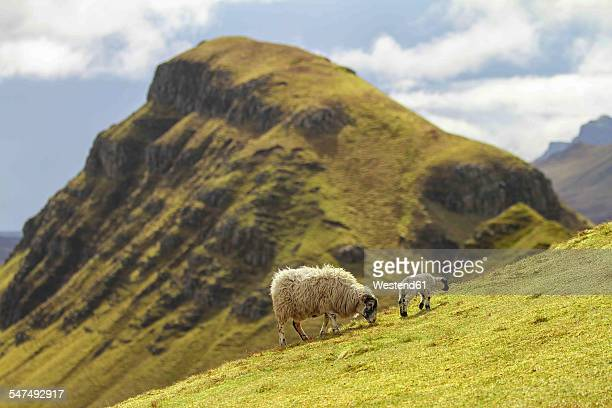uk, scotland, isle of skye, quiraing, sheep on meadow - grazing stock pictures, royalty-free photos & images