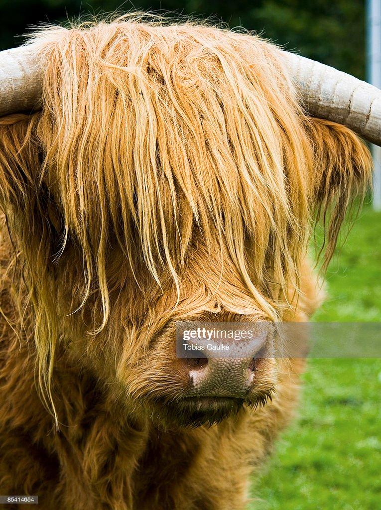 Scotland, Kyloe, close-up : Stock-Foto