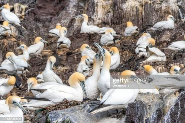 uk, scotland, north berwick, gannet colony at bass rock island - jan van gent stockfoto's en -beelden