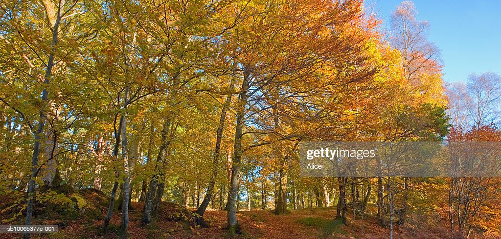 Scotland, Perthshire, autumn beech woods : Foto stock