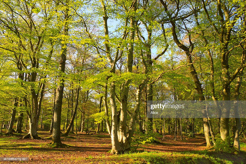 Scotland, Perthshire, Comrie, spring beech woods : Foto stock
