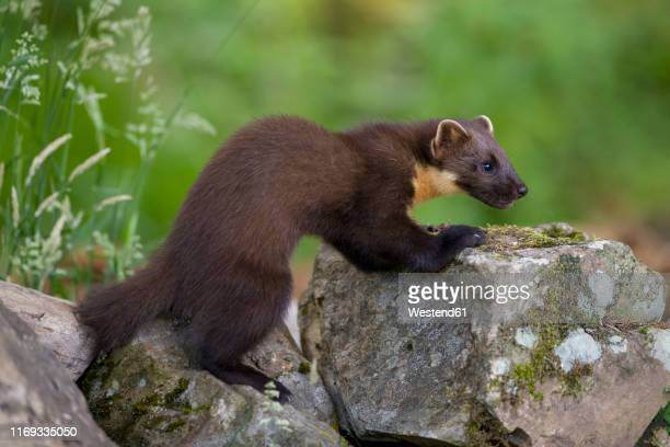 uk, scotland, pine marten - pine marten stock pictures, royalty-free photos & images