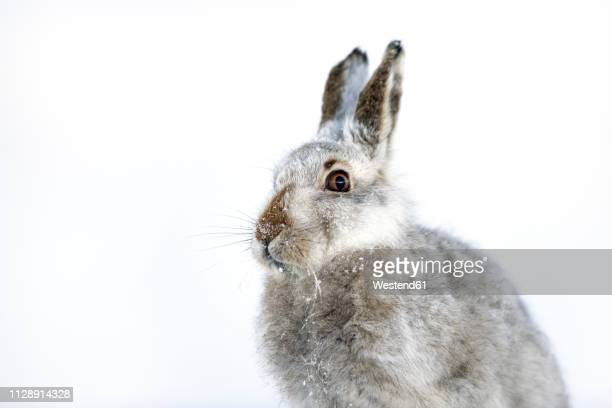 uk, scotland, portrait of mountain hare in snow - hare stock pictures, royalty-free photos & images