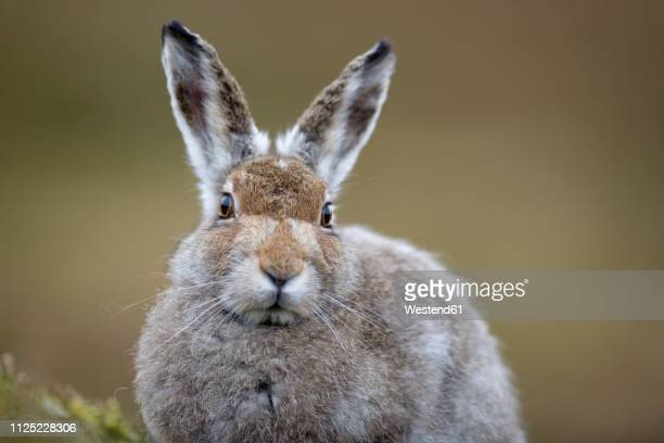 uk, scotland, portrait of mountain hare - hare stock pictures, royalty-free photos & images