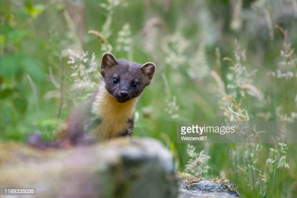 uk, scotland, portrait of pine marten in nature - pine marten stock pictures, royalty-free photos & images