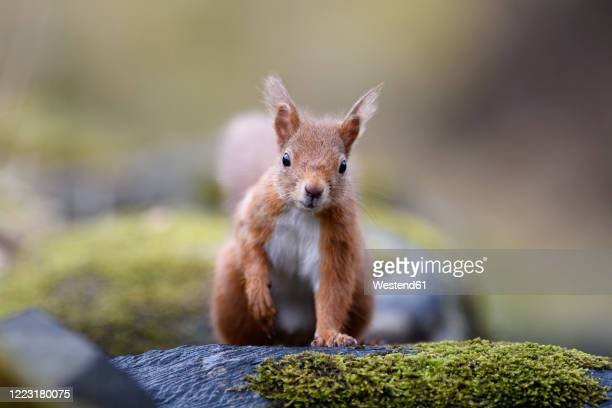 uk, scotland, portrait of red squirrel (sciurus vulgaris) standing outdoors - eurasian red squirrel stock pictures, royalty-free photos & images