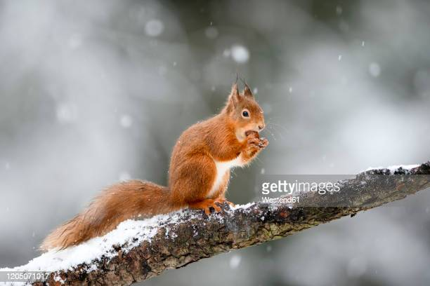 uk, scotland, red squirrel(sciurusvulgaris)feeding on tree branch in winter - winter stock pictures, royalty-free photos & images