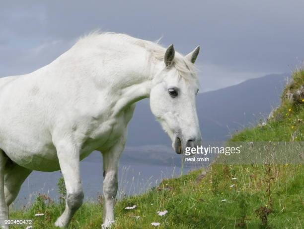 a scots grey - white horse stock pictures, royalty-free photos & images