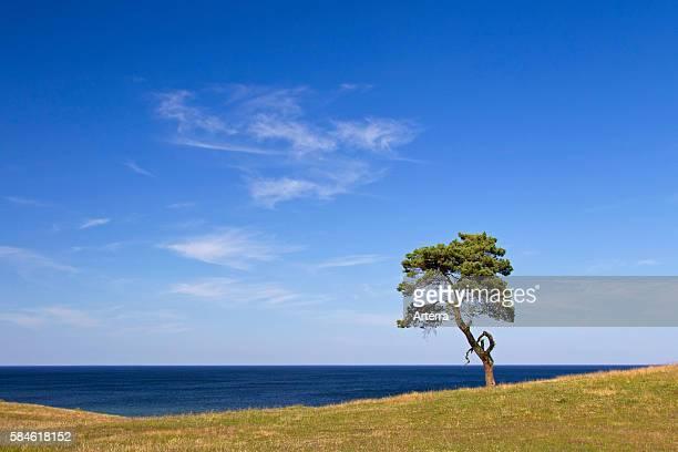 Scots Pine / Norway Pine , solitary tree near the sea at Havang, Skane, Sweden, Scandinavia.