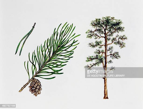 Scots pine Pinaceae tree leaves and fruit illustration