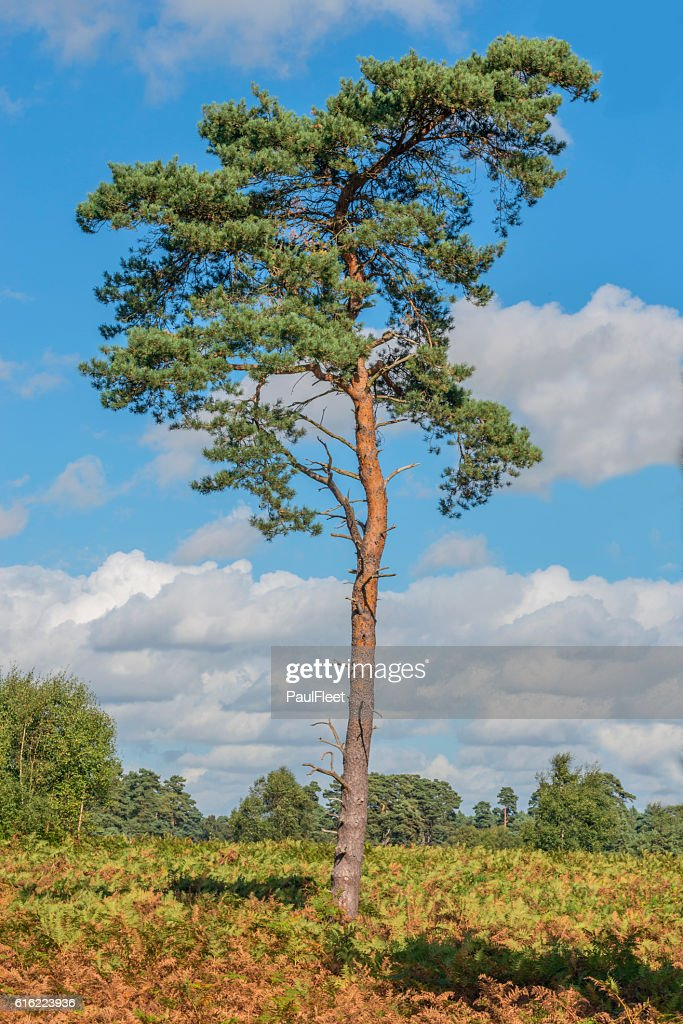 Scots Pine Tree : Stock Photo