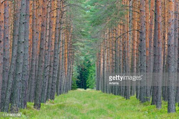 Scots Pine tree trunks and firebreak / fireroad / fire line / fuel break bushfire prevention in coniferous forest