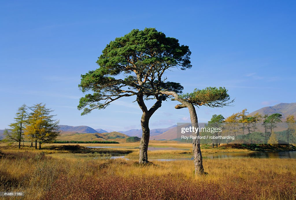 Scots Pine Trees, Loch Tulla, Strathclyde, Scotland, UK, Europe : Stockfoto