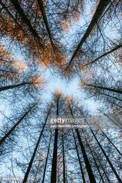 Scot's Pine woodland in West Sussex