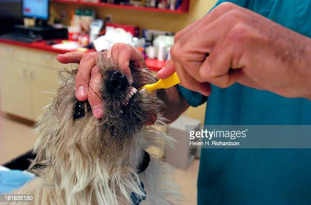 Scott Blanchard works on the teeth of 1 year old Reilly <cq> who is a Cairn Terrier <cq> Scott Blanchard is a local dental hygienist who has...