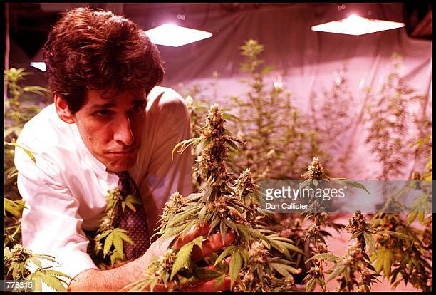 Scott Imler President of The Los Angeles Cannabis Resource Center inspects September 1 2000 the cannabis crop on the premises where cannabis can be...