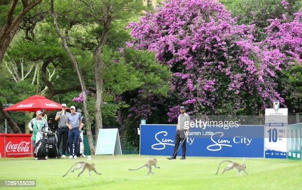 Scott Jamieson of Scotland watches a monkey run across the tee box on the 10th hole during Day One of the South African Open at Gary Player CC on...