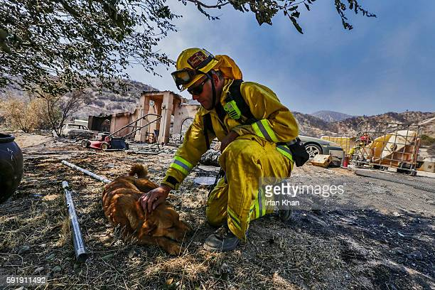 Scott Steele of Beverly Hills fire department comfort one of two dogs hurt in Blue Cut Fire next to a burned structure on Monte Vista in Phelan