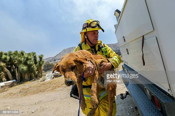 Scotte Steele Beverly Hills Fire carries one of two dogs hurt by Blue Cut Fire at burned out structure on Monte Vista Road in Phelan Capt Beverly...