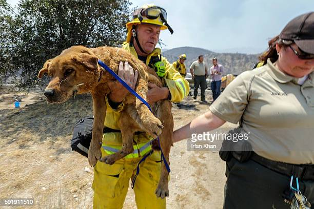 Scotte Steele Beverly Hills Fire left and Jaime Jungle from San Bernardino County Animal Control carry one of two dogs hurt by Blue Cut Fire at...