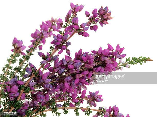 scottish bell heather (erica tetralix) on white background - bundle stock pictures, royalty-free photos & images