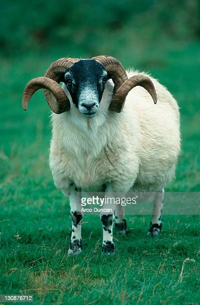 scottish blackface ram, scotland - blackface bildbanksfoton och bilder