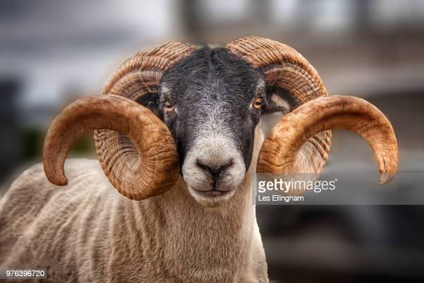 scottish blackface ram with twisted horns, lewis, outer hebrides, scotland, uk - 角のはえた ストックフォトと画像