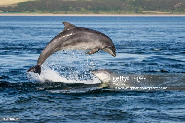 scottish bottlenose dolphins breaching in sunshine - dolphin stock pictures, royalty-free photos & images