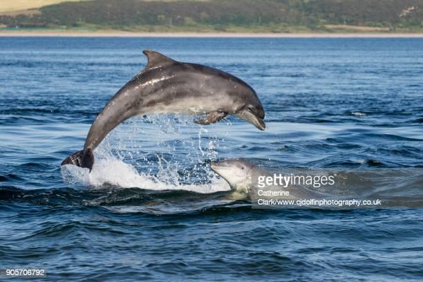 Scottish Bottlenose Dolphins Breaching in Sunshine