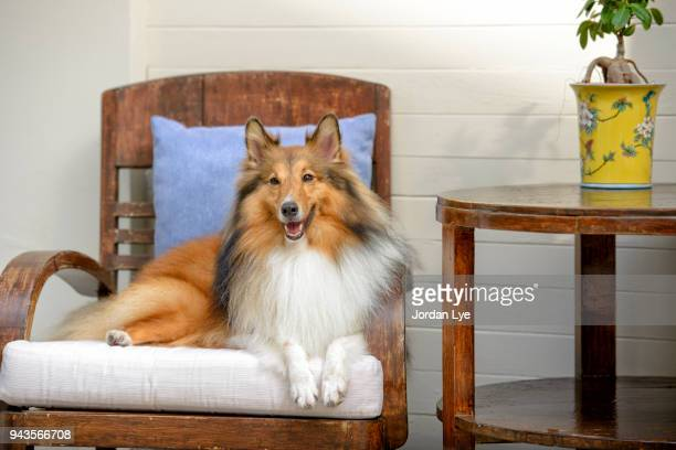 scottish collie - collie stock photos and pictures