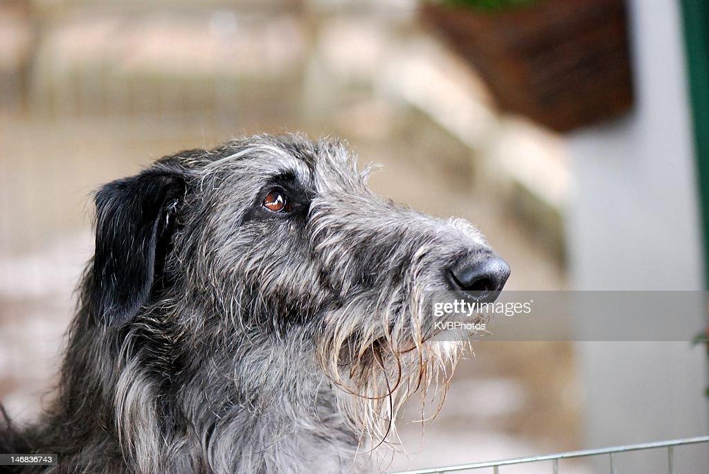 Scottish Deerhound : Stock Photo