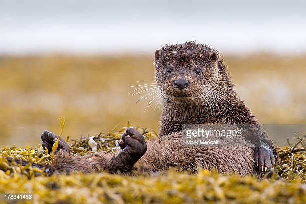 scottish european otter - lontra imagens e fotografias de stock