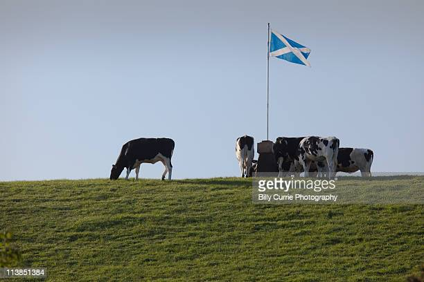 scottish flag with cows - scotland stock-fotos und bilder