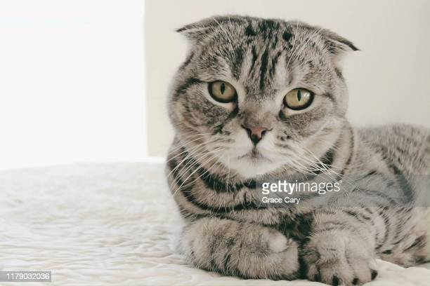 scottish fold cat on bed - purebred cat stock pictures, royalty-free photos & images