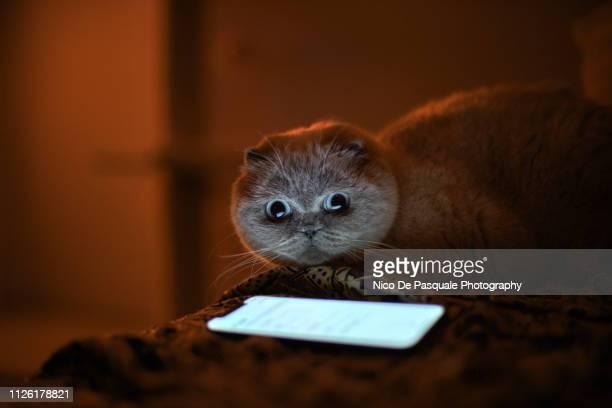 scottish fold cat - allerta foto e immagini stock