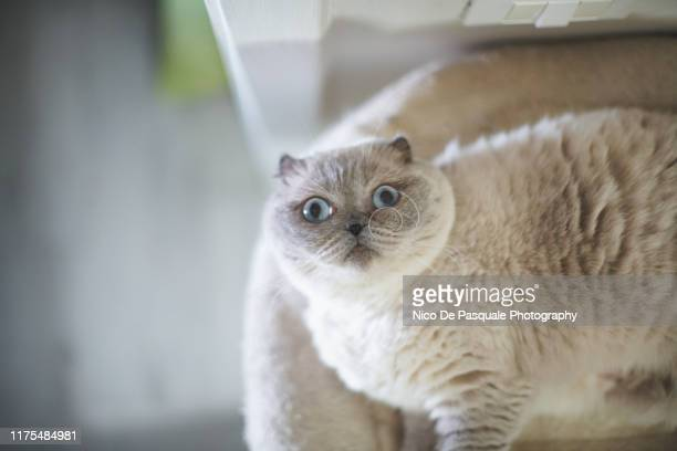 scottish fold cat - nico de pasquale photography stock pictures, royalty-free photos & images