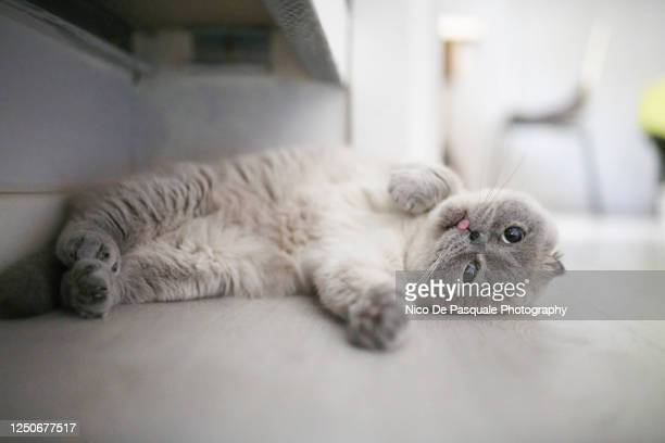 scottish fold cat - young animal stock pictures, royalty-free photos & images
