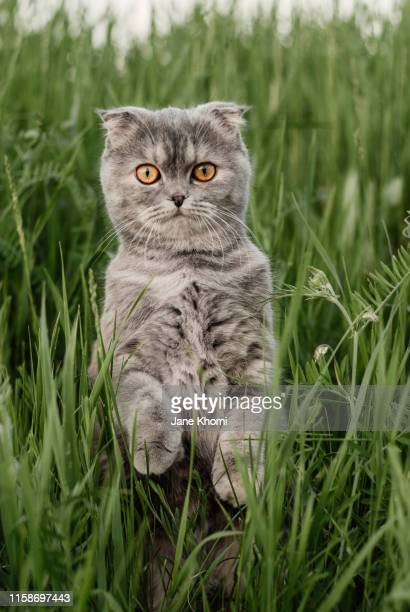 scottish fold cat standing - purebred cat stock pictures, royalty-free photos & images