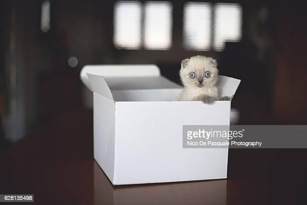 Scottish Fold kitten in box