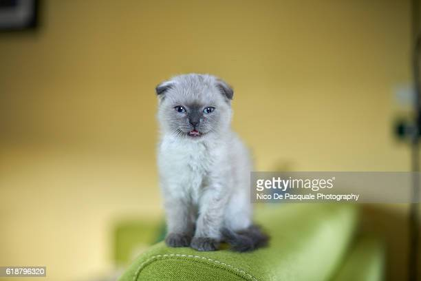 scottish fold kitten - purebred cat stock pictures, royalty-free photos & images