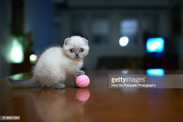 scottish fold kitten - hairy balls stock photos and pictures