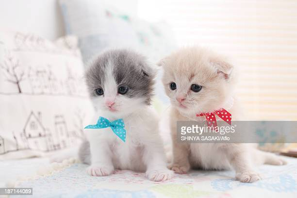 Scottish Fold pets