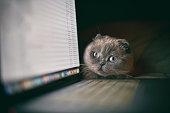 scottish fold kitten looking at laptop