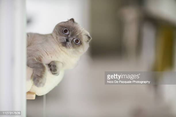 scottish fold playing - curiosity stock pictures, royalty-free photos & images