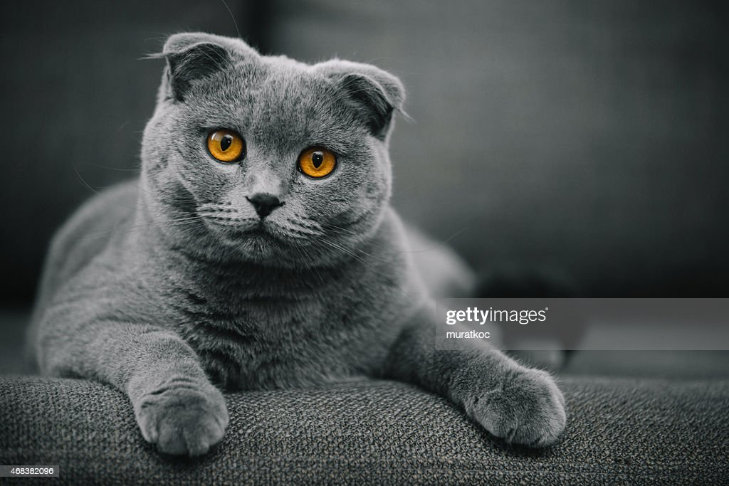 beautiful purebred scottish fold shorthair cat posing in front of camera. creamy bokeh is achieved with telephoto lens.