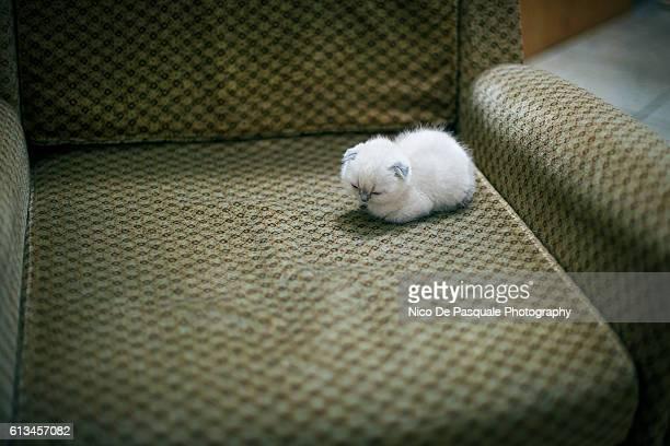 Scottish Fold sleeping