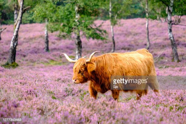 "scottish highland cattle in a blooming heather field during a summer day - ""sjoerd van der wal"" or ""sjo"" stock pictures, royalty-free photos & images"