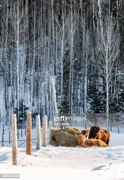 Scottish Highland Cattle in winter
