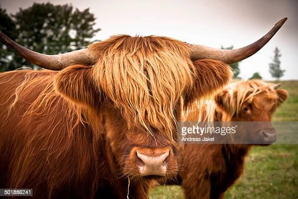Scottish Highland Cattle, Rerik, Rerik, Mecklenburg-Western Pomerania, Germany